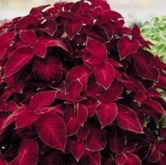 Coleus Fairway Red Velvet - seed ordered for my garden this year