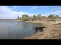 Chocolate Labrador Retriever in Action - http://www.ruffingtonpost.com/chocolate-labrador-retriever-action/