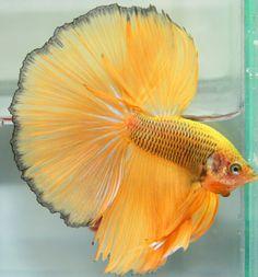 fwbettashm1443731035 - ***Yellow-Net ***HM-Male ***