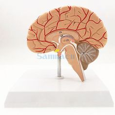 Human Right Brain Blood Vessel Medical Display Anatomical Model Deluxe Specimen Medical Science Supplies #Affiliate