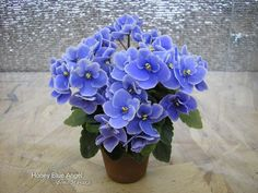 "This African Violet is ""Honey Blue Angel"""