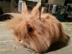 Orange Lionhead Rabbit