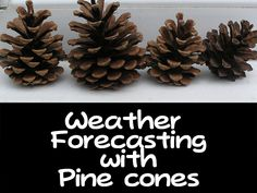 pine cone weather forecast: pine cone weather station. They are open when it is dryer and they close up before rain. Cool!