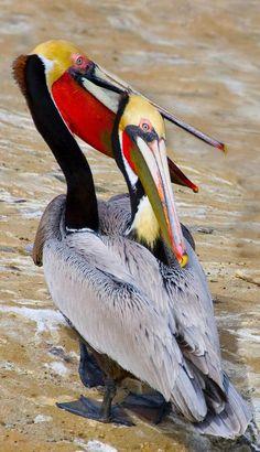 Brown Pelicans in breeding plumage. La Jolla Cove, CA