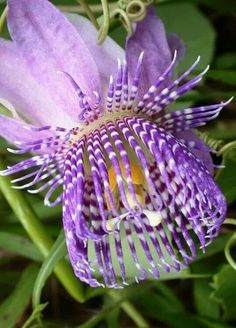 Passiflora triloba a.k.a. Passion flower vine. Native to Bolivia.