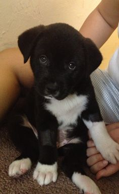 Lab/Husky Mix. My brother has a puppy like this, and he is such a sweet and loving pup!