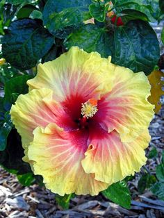Hawaiian Hibiscus @Kelsey Myers Corotan sorry took so long to actually do this. Just signed up - Hope this pin finds you well.