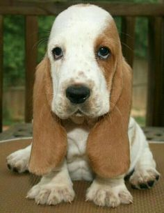 The Daily Cute: National Puppy Day Bonus Coverage Basset hound puppy. The most adorable puppy ever! Hound Puppies, Basset Hound Puppy, Cute Puppies, Dogs And Puppies, Basset Puppies, Retriever Puppies, Hound Dog, Beautiful Dogs, Animals Beautiful