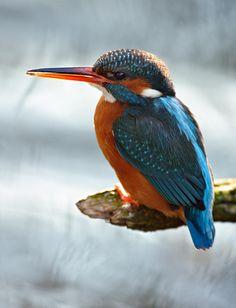 Mooie complementaire #kleurcombinatie in de veren van de ijsvogel of kingfisher