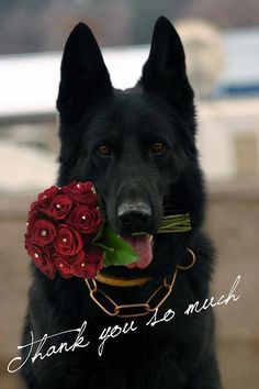 Thank you so much #german #shepherd #dog