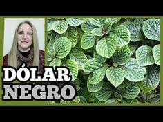 🍃PLANTA DÓLAR NEGRO/ del DINERO o MILLONARIA/👩🌾Cuidados y Reproducción@Verónica Campanini Plantas - YouTube