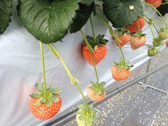鹿島台農園で栽培している桃薫苺(とうくんいちご)