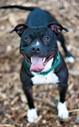 Ethan is an adoptable dog at the SPCA of Westchester in Briarcliff Manor, NY. Ethan LOVES everyone! This beautiful pitty mix recently came in as a stray and all he has done since is made us laugh! what a cutie!