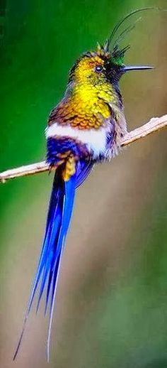Tufted Coquette Hummingbird Sitting On A Branch
