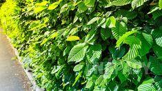 Živý plot: seznam rostlin | Prima nápady