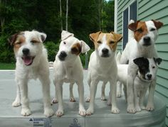 A gang of terriers.