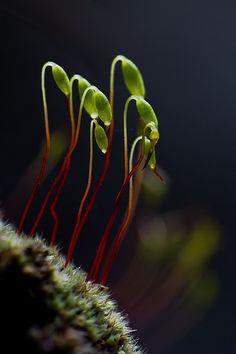 """Moss Sporophyte ( http://en.wikipedia.org/wiki/Sporophyte ) """"Little green aliens"""" © Szabolcs Sipos"""