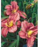 Happy Ever Appster(R) Daylily