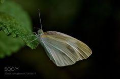 Cabbage butterfly by Akiatoshiaki #nature #photooftheday #amazing #picoftheday