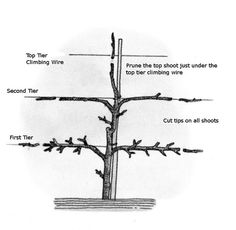 How to Form an Espalier With Your Maiden Apple Tree. Over time gardeners have developed creative techniques using planting and other garden features to bring the best out in their gardens. Forming an espalier with a maiden tree stem is one. Espalier Fruit Trees, Dwarf Fruit Trees, Trees And Shrubs, Fruit Garden, Garden Trees, Edible Garden, Garden Fences, Herbs Garden, Gardening For Beginners