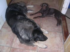 Sarplaninac and a Labrador.what a difference in size. Beautiful Dogs, Big And Beautiful, Be A Nice Human, Mountain Dogs, Schnauzer, Labrador, Pets, Cattle Dogs, Animals