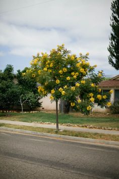 yellow flower tree Yellow Fever, Flower Tree, Flowering Shrubs, Happy Colors, Yellow Flowers, Patience, Outdoor Spaces, Outdoor Gardens, Sidewalk
