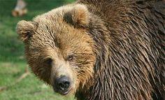 L'ours des Pyrénées: L'Europe lance une procèdure d'infraction contre la France