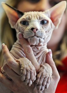 The Canadian Sphynx cat Godfrey is shown by owner Olga Michel during the world cat exhibition in Dortmund, Germany, Sunday April 21,2013. (AP Photo/Frank Augstein)