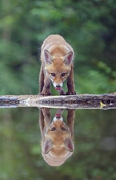 """Fox Reflection"" by Marc Costermans"