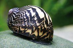 Wide Line Zebra Snail - (http://www.eliteinverts.com/wide-line-zerbra-nerite-snail/)