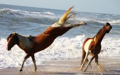 """This caption read, """"Mustangs."""" Where are there Mustangs at the ocean? All The Pretty Horses, Beautiful Horses, Karate, Wild Horses Running, Island Horse, Chincoteague Ponies, Chincoteague Island, All About Horses, Majestic Horse"""
