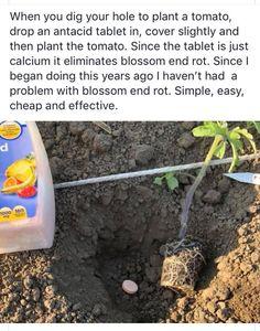 Eliminate blossoms rot with Tums! Garden Yard Ideas, Lawn And Garden, Garden Projects, Farm Gardens, Outdoor Gardens, Home Vegetable Garden, Edible Garden, Growing Vegetables, Garden Plants