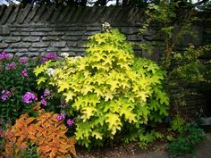 Plant an orange/red coleus next to the Little Honey Hydrangea and maybe move some phlox over there, too!  <3