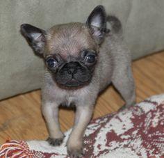 Pug and Chihuahua Chug--I WANT IT!!!