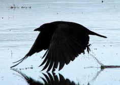 American Crow (Corvus brachyrhyncos) by Crappy Wildlife Photography, via Flickr