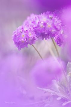 Soft, dreamy and romantic Primula denticulata spring flowers from the blog post sharing the best of my nature images from 2013