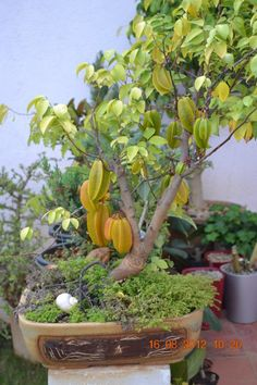 The Climate is Changing: A bonsai beauty! Bonsai Fruit Tree, Bonsai Plants, Fruit Trees, Plantas Bonsai, Fruit Plants, Fruit Garden, Container Gardening, Gardening Tips, Potted Trees