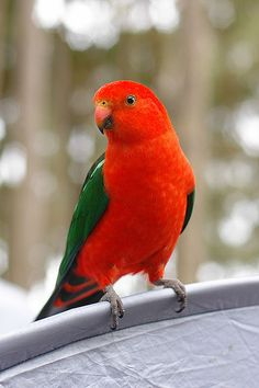 The Australian King Parrot is occasionally bred in aviaries and kept as household pets. As a pet, it had been known to live for up to 25 years. It is found in humid and heavily forested upland regions of the eastern  portion of the Australia, including eucalyptus wooded areas in and directly adjacent to subtropical and temperate rainforests.