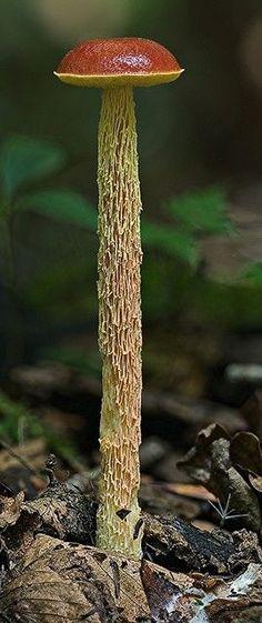 Boletellus betula: MycoImage