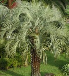Pindo Palm (Butia Capitata) - Zone 8-9 Full to Part Sun. 15-20ft High 10ft Wide. Leaves range from light green to bluish gray. Prefers sandy, well drained soil but is adaptable and very drought tolerant. Regular watering and feeding will produce a faster growing, more attractive palm.Propagate by seeds. Young palms are often found under palms that have been allowed to produce fruit. Inexpensive.