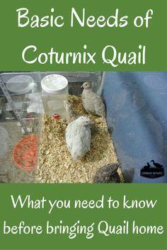 4 Basic Needs of Quail Diy Chicken Coop Plans, Backyard Chicken Coops, Backyard Farming, Chickens Backyard, Quail Pen, Quail Coop, Quail Eggs, Raising Quail, Raising Farm Animals