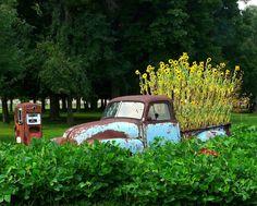 A truckload of sunflowers - UT Gardens.