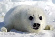 A cute baby Harp Seal waits patiently on the ice for the return of its mother near the Gulf of St. Baby Wild Animals, Wild Animals Pictures, Puppy Pictures, Cute Baby Animals, Animal Pictures, Funny Animals, Baby Harp Seal, Baby Seal, Cute Seals