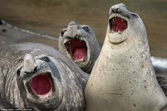 The show must go on: Three elephant seals put on an operatic performance in Roie Galitz's 'Three Tanors', taken on January 7, 2016 in South Georgia Island
