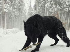 A Black Wolf.<<<<< it kinda looks like a mix of wolf and a bear Beautiful Creatures, Animals Beautiful, Cute Animals, Wild Animals, Baby Animals, Wolf Spirit, My Spirit Animal, Tier Wolf, Regard Animal