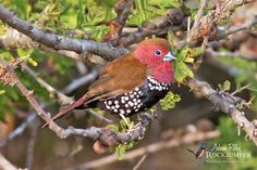 The Pink-throated Twinspot (Hypargos margaritatus) inhabits dry savanna and moist, subtropical/tropical (lowland) shrubland habitats near the southeast African coast in Mozambique, South Africa and Swaziland. Photo: Adam Riley
