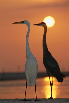 'Great egret, Egretta alba, in front with blue heron at sunset.' by National Geographic on artflakes.com