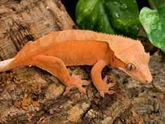 Crested Gecko Caresheet at acreptiles.com.  Love my little crested gecko!