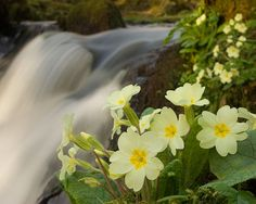 jaglac (Primula vulgaris) - primrose - first to bloom after snowdrops