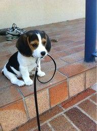 i love beagles...i want one